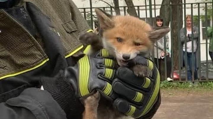 Семейство лис спасли на территории детского сада на северо-востоке Москвы