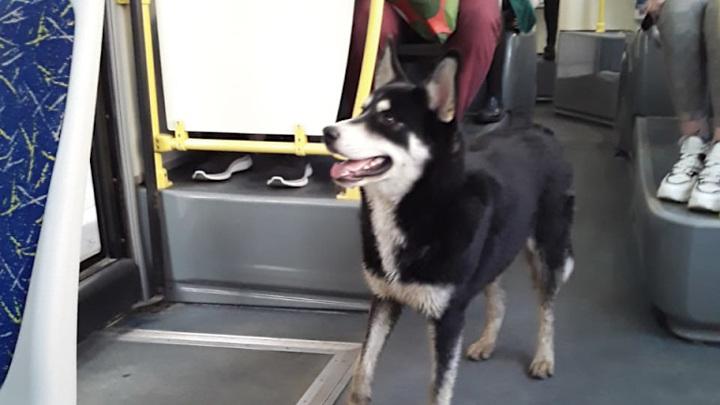 В Твери собака ездит на автобусах в поисках хозяина
