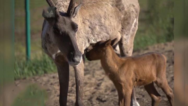 В Керженском заповеднике у лесных северных оленей родился малыш