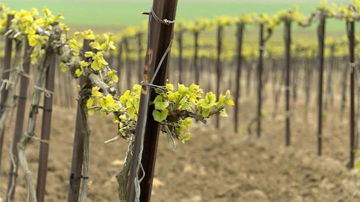 Крымские вина смогут попробовать в Египте и Китае