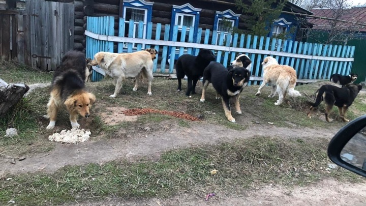 Разорвали кота: жители Казани пожаловались на агрессивную стаю собак