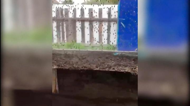 Ульяновскую область терроризируют красноголовые мошки