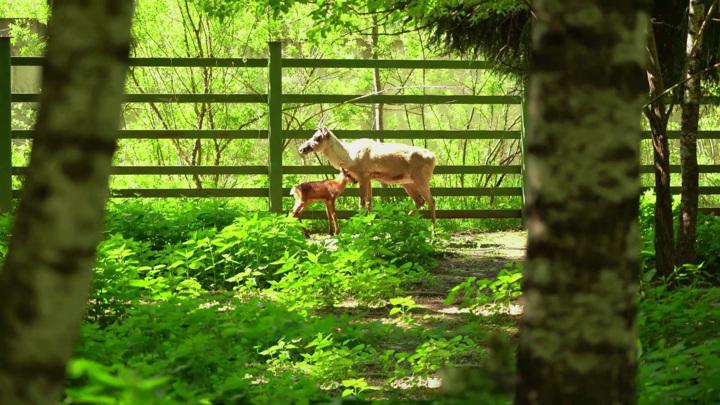 В Московском зоопарке родились детеныши северного оленя