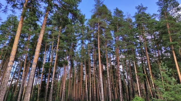 Деревья в топе: в Марий Эл наиболее эффективно используют леса