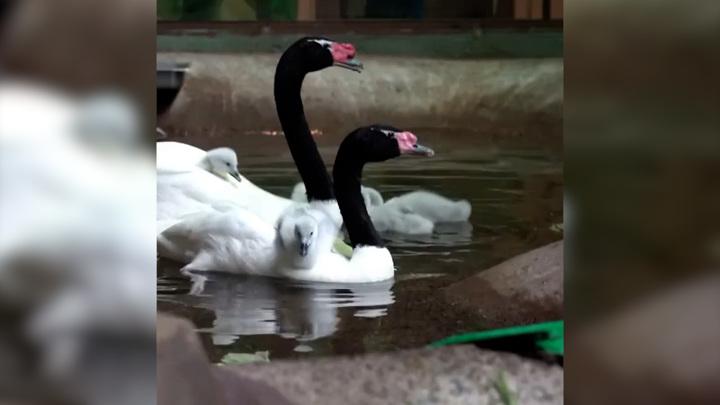 У пары черношейных лебедей в Московском зоопарке появились птенцы