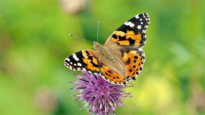 Репейницы - широко распространённый вид бабочек. Их можно встретить на всех континентах, кроме Южной Америки и Антарктики.