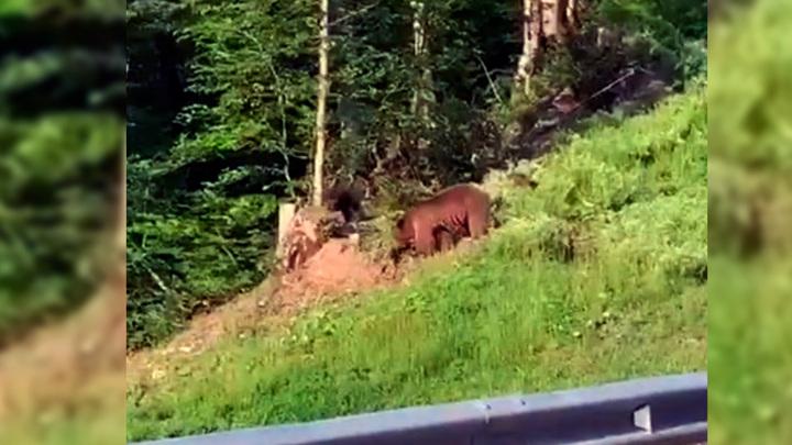 Медведицу с медвежатами сняли на видео в горах Сочи