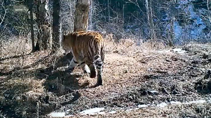 Вспышки АЧС сократили кормовую базу для тигров в ЕАО