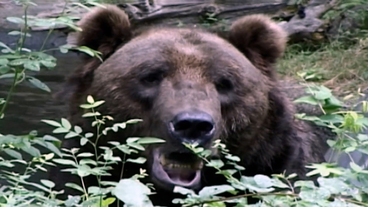 Выживший в Сибири: новосибирец смог отбиться от медведя-людоеда