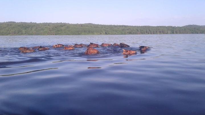 Лошади тонут. На Амуре под воду уходят пастбища