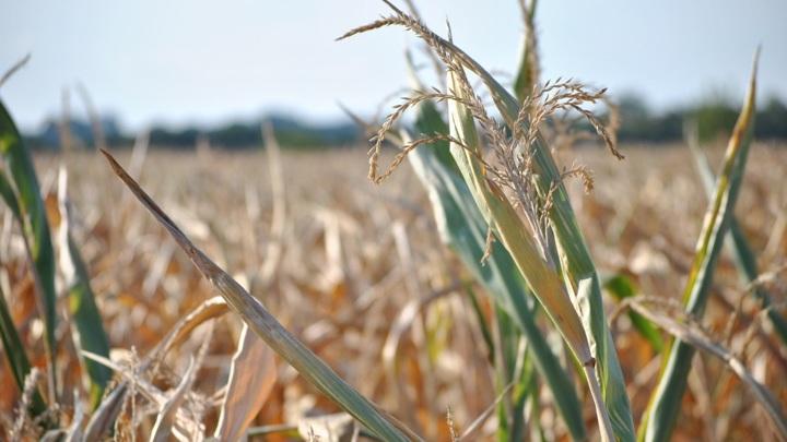 Ульяновский Минсельхоз предупредил о снижении урожайности из-за засухи