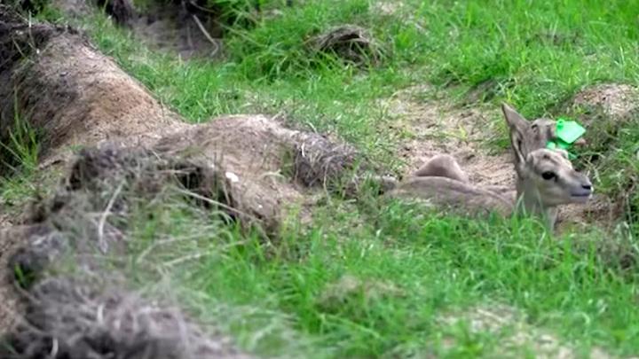 В Московском зоопарке родились джейранята