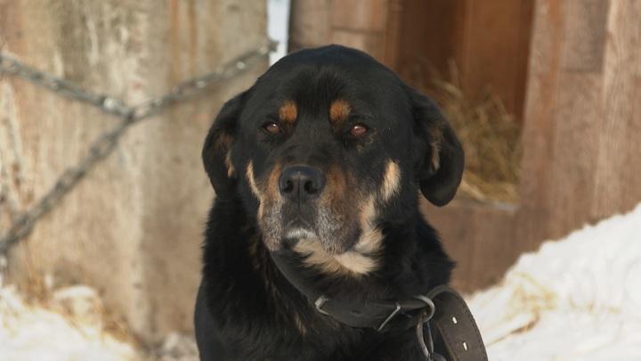 Житель Калининградской области, натравивший собаку на ребенка, выплатит компенсацию