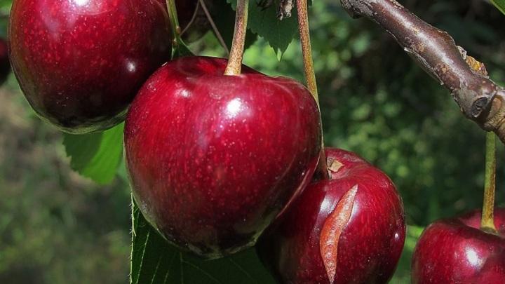 На компоты: в Крыму нашли похитителей 90 кг черешни из частного сада