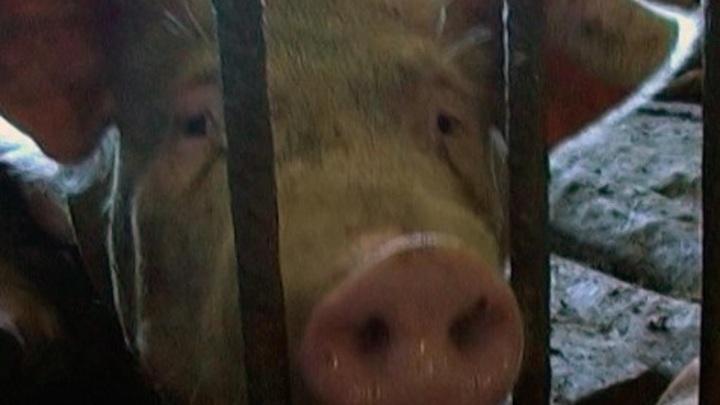 Очаг африканской чумы свиней найден в Юхновском районе
