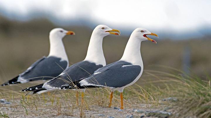 Северные чайки летают быстрее из-за темной окраски крыльев.