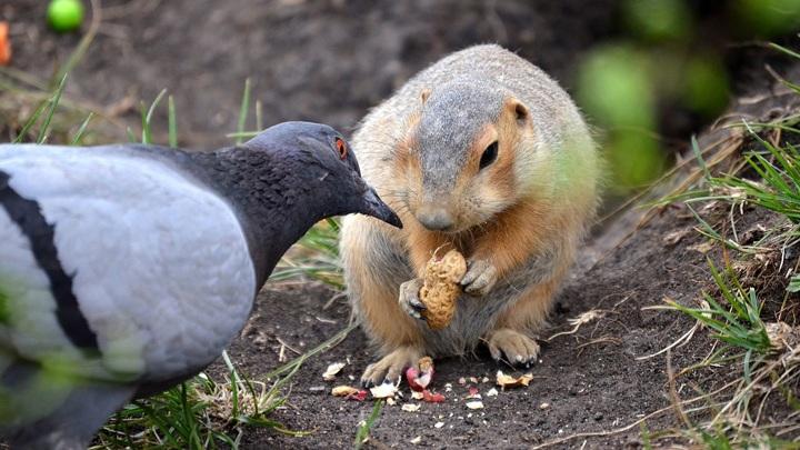 В Челябинской области голубь-беспредельщик оставил суслика без обеда
