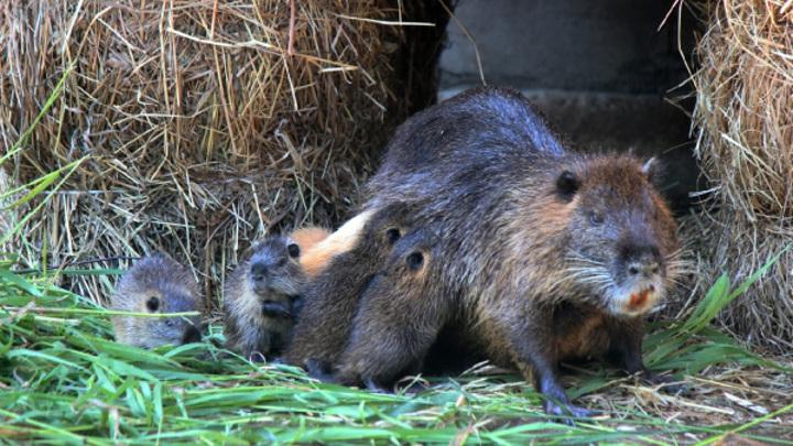 8 маленьких нутрий родились в нижегородском зоопарке