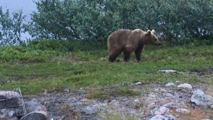 К заполярным водителям снова вышел медведь