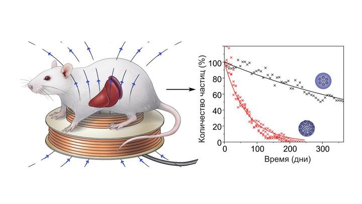 Cхема измерения концентрации магнитных частиц в печени и селезенке млекопитающих.