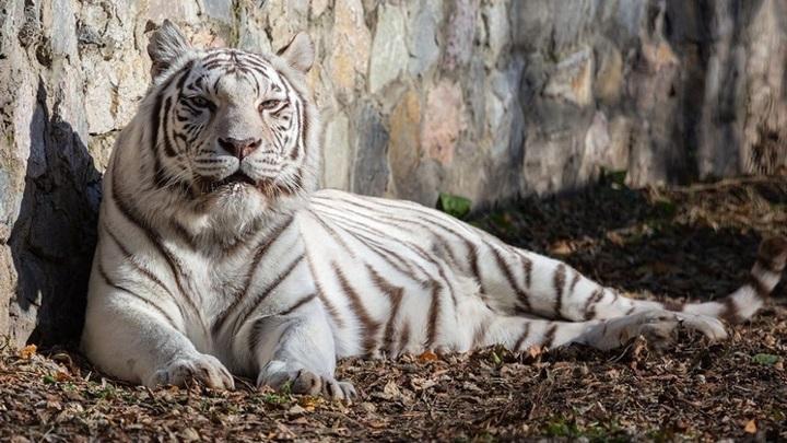 Полосатая Зая: в Новосибирске бенгальская тигрица отмечает день рождения