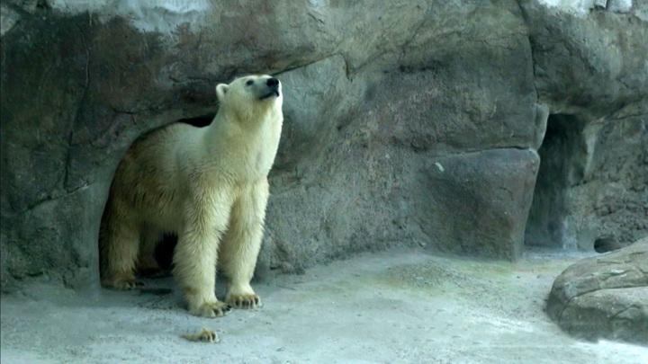 Москвичи выберут имя для спасенной в Якутии медведицы
