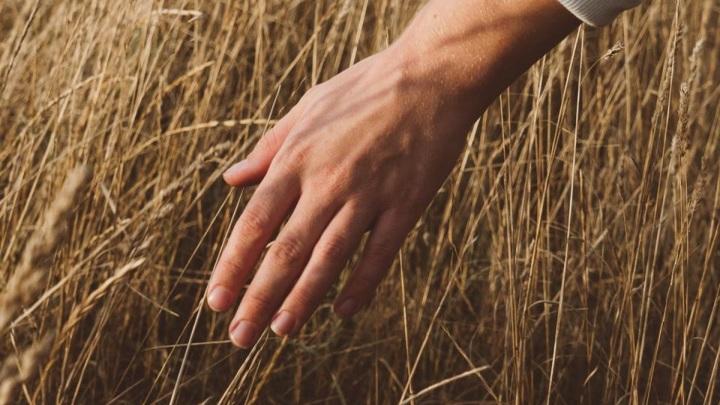 Эксперты рассказали, как жара повлияет на урожай зерна