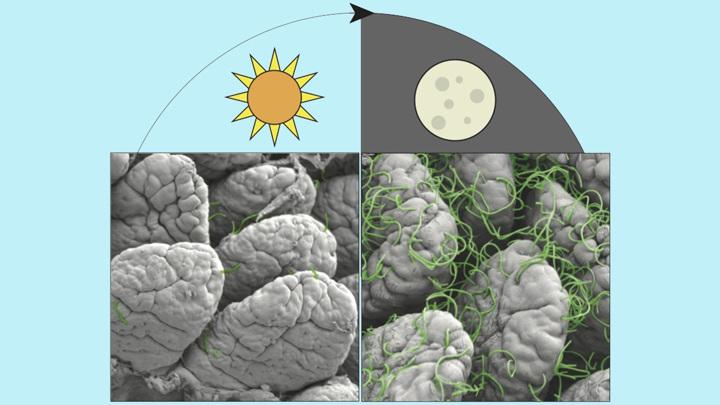Сканирующая электронная микрофотография показывает сегментированные нитевидные бактерии, прикрепляющиеся к кишечнику мыши. Больше бактерий прикрепляется ночью, чем днем.