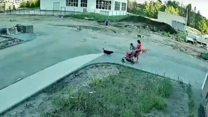 В Воронеже нападение стаи собак на семью с коляской попало на видео