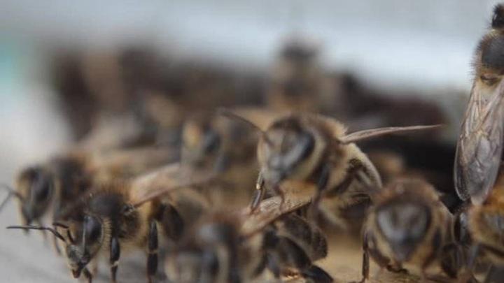 Гибелью нескольких миллионов пчел в Красноярском крае займется СК