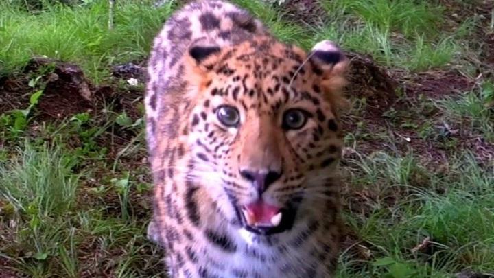 """Самое редкое """"селфи"""" в мире. В Приморье на видео попал краснокнижный леопард"""