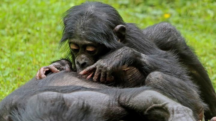 Интересно, что чем ближе друг к другу бонобо были в социальной иерархии, тем короче были их фазы входа и выхода из общения.