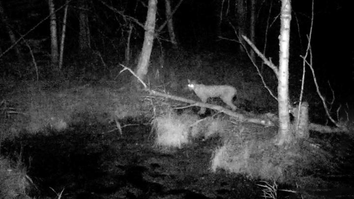 На Южном Урале в объектив фотоловушки попала неудачная охота рыси на лося