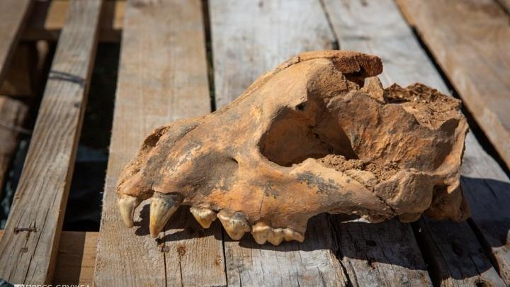 В крымской пещере найден череп гигантской гиены