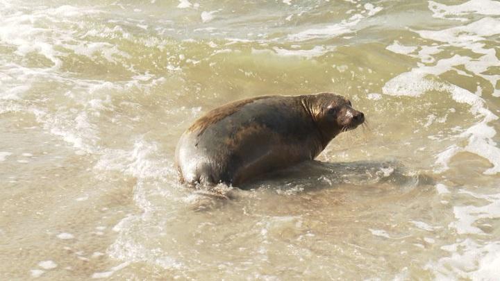 В Балтийское море отпустили в свободное плавание четырех тюленей
