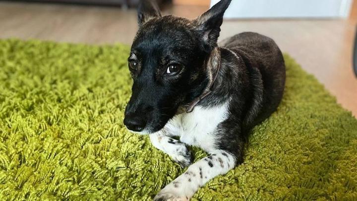 Собаку Еву, которая потерялась перед погрузкой на рейс в Домодедове, нашли