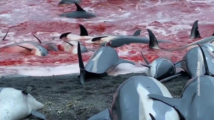 """Дельфинам устроили """"кровавую баню"""" ради сомнительного обряда"""