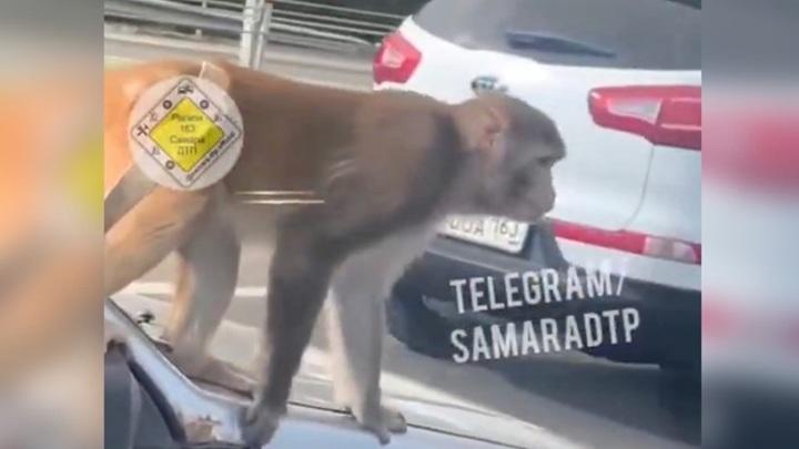 Обезьяна-непоседа устроила шоу на капоте машины, стоящей в пробке