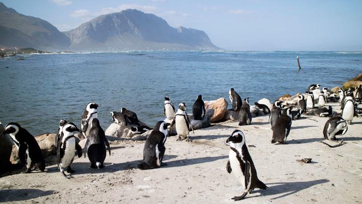 Пчелы убили более шести десятков пингвинов