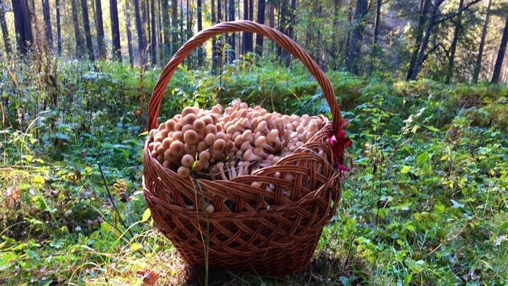 На Урале нашли гигантский урожай опят, облепивших деревья
