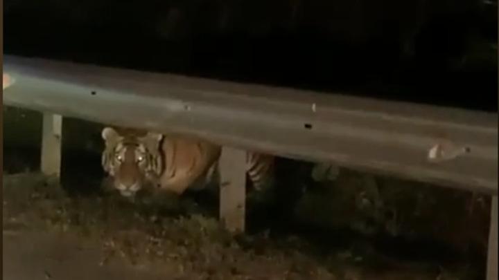 В Приморье тигр внимательно присмотрелся к людям в автомобиле