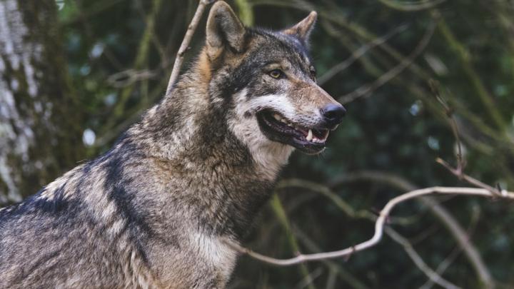 Голодный волк атаковал собаку: в Великом Устюге хищники выходят к людям