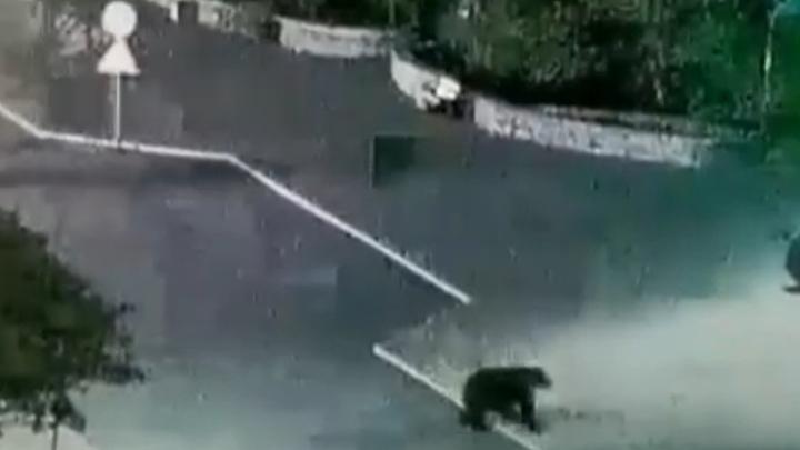 В Северо-Курильске отстрелили медведя, устраивавшего вылазки в город