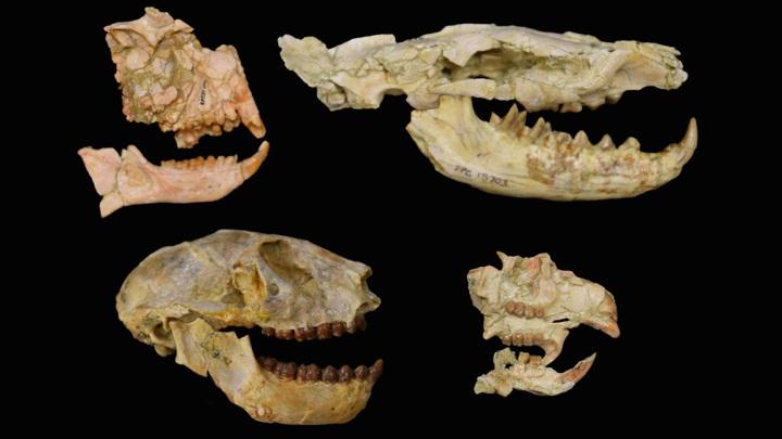 Окаменелости ключевых исследованных групп млекопитающих: приматов (слева), гиенодонтов (справа вверху), грызунов (справа внизу).