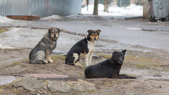 В Ивановской области организовали отлов бродячих собак
