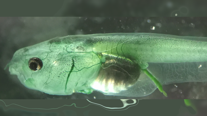 Головастик гладкой шпорцевой лягушки Xenopus laevis с фототрофами в кровеносных сосудах.
