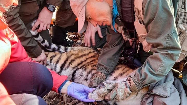 В Приморье спасли тигренка, угодившего в браконьерский капкан